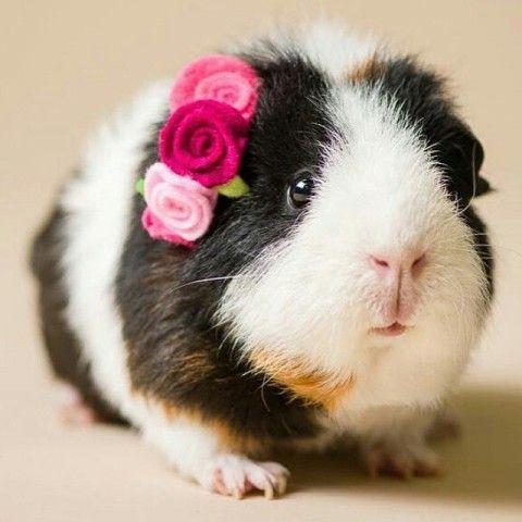 Guinea Pig Backgrounds, Compatible - PC, Mobile, Gadgets| 480x480 px