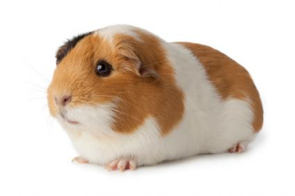 HD Quality Wallpaper | Collection: Animal, 425x283 Guinea Pig