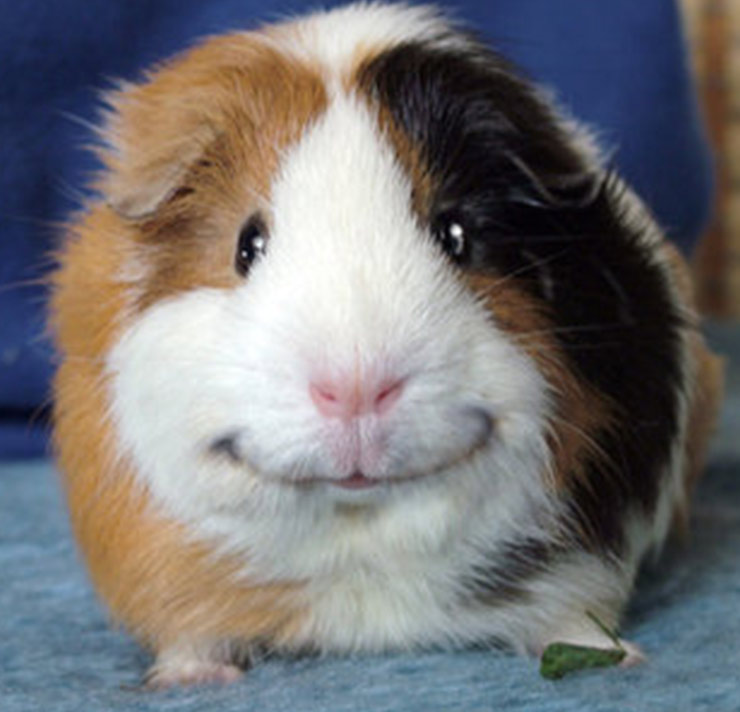 Amazing Guinea Pig Pictures & Backgrounds