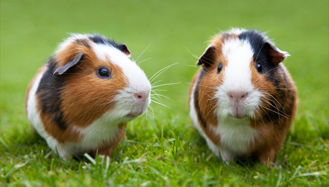 HD Quality Wallpaper | Collection: Animal, 650x369 Guinea Pig