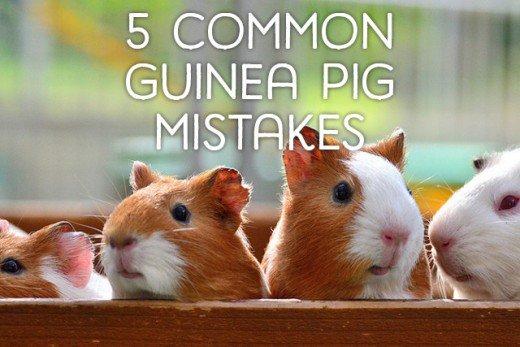 HQ Guinea Pig Wallpapers | File 41.61Kb