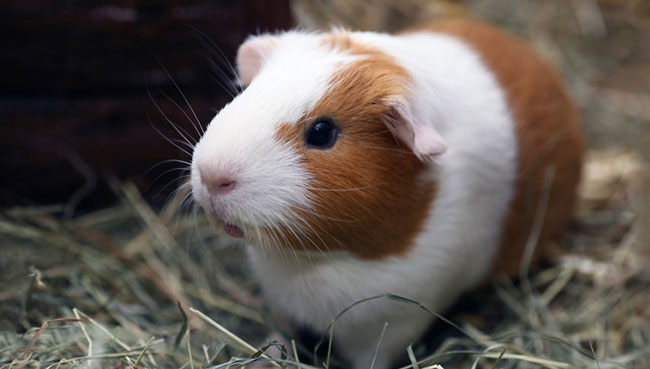 Guinea Pig Backgrounds on Wallpapers Vista