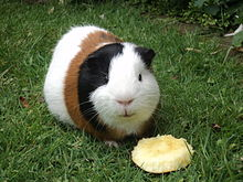 Guinea Pig Pics, Animal Collection