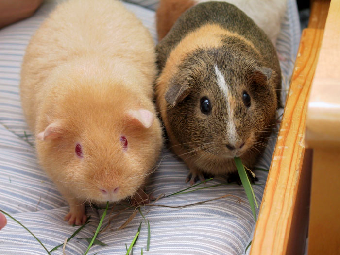 Guinea Pig High Quality Background on Wallpapers Vista
