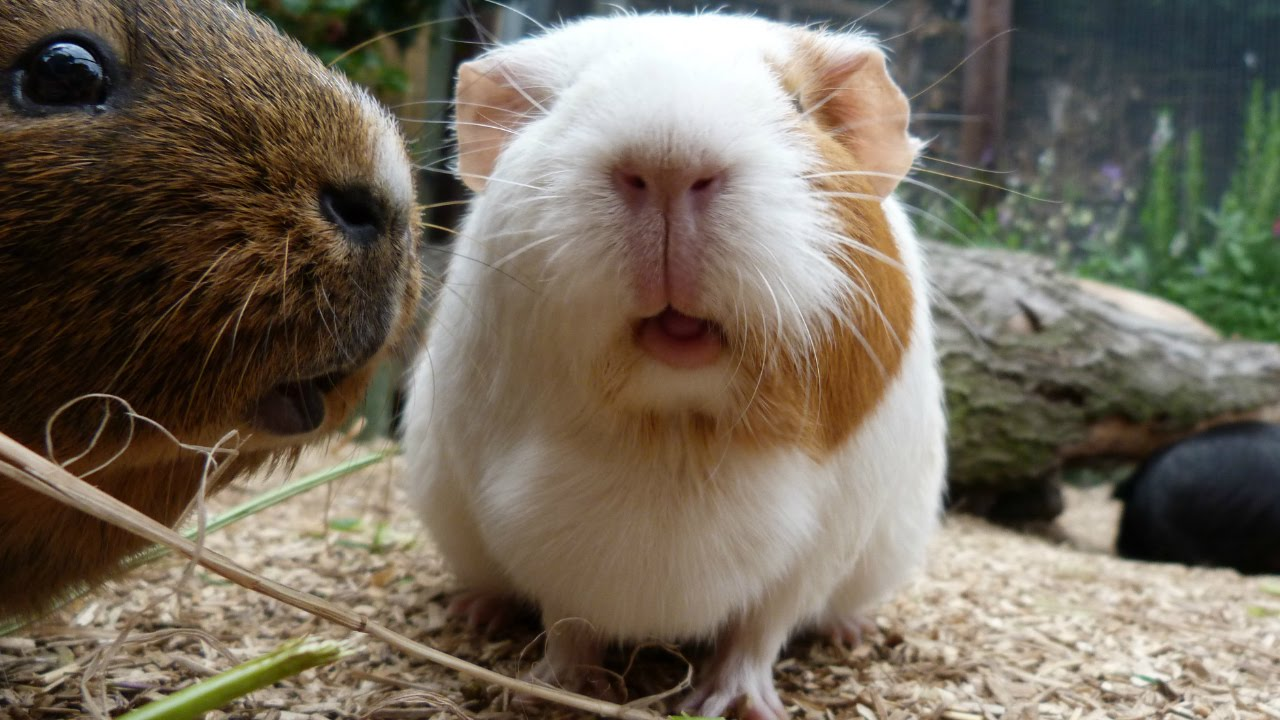 1280x720 > Guinea Pig Wallpapers