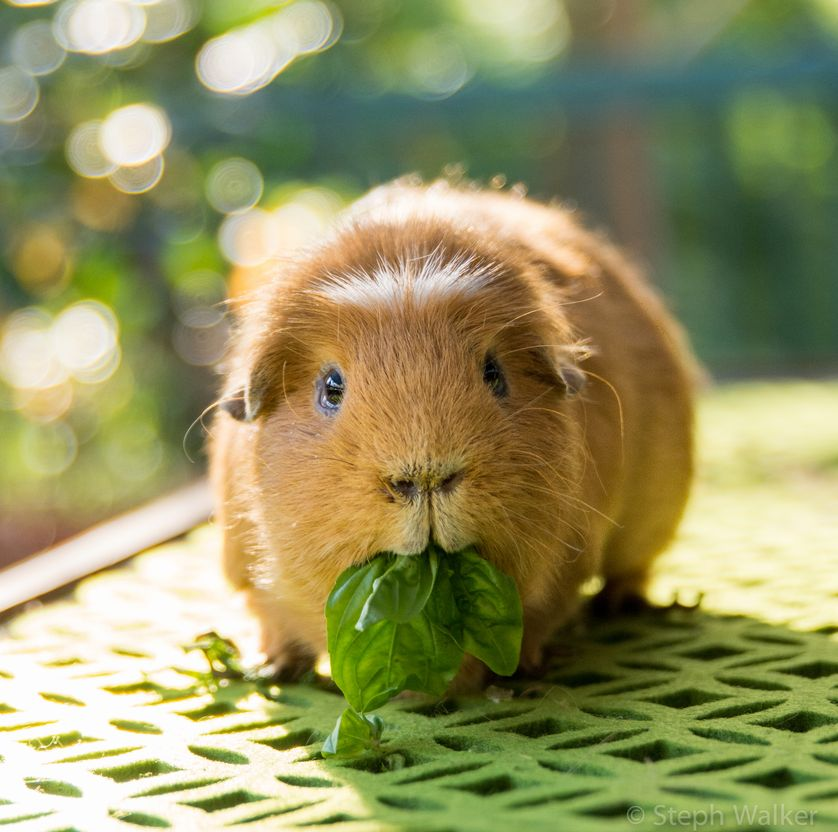 Nice Images Collection: Guinea Pig Desktop Wallpapers