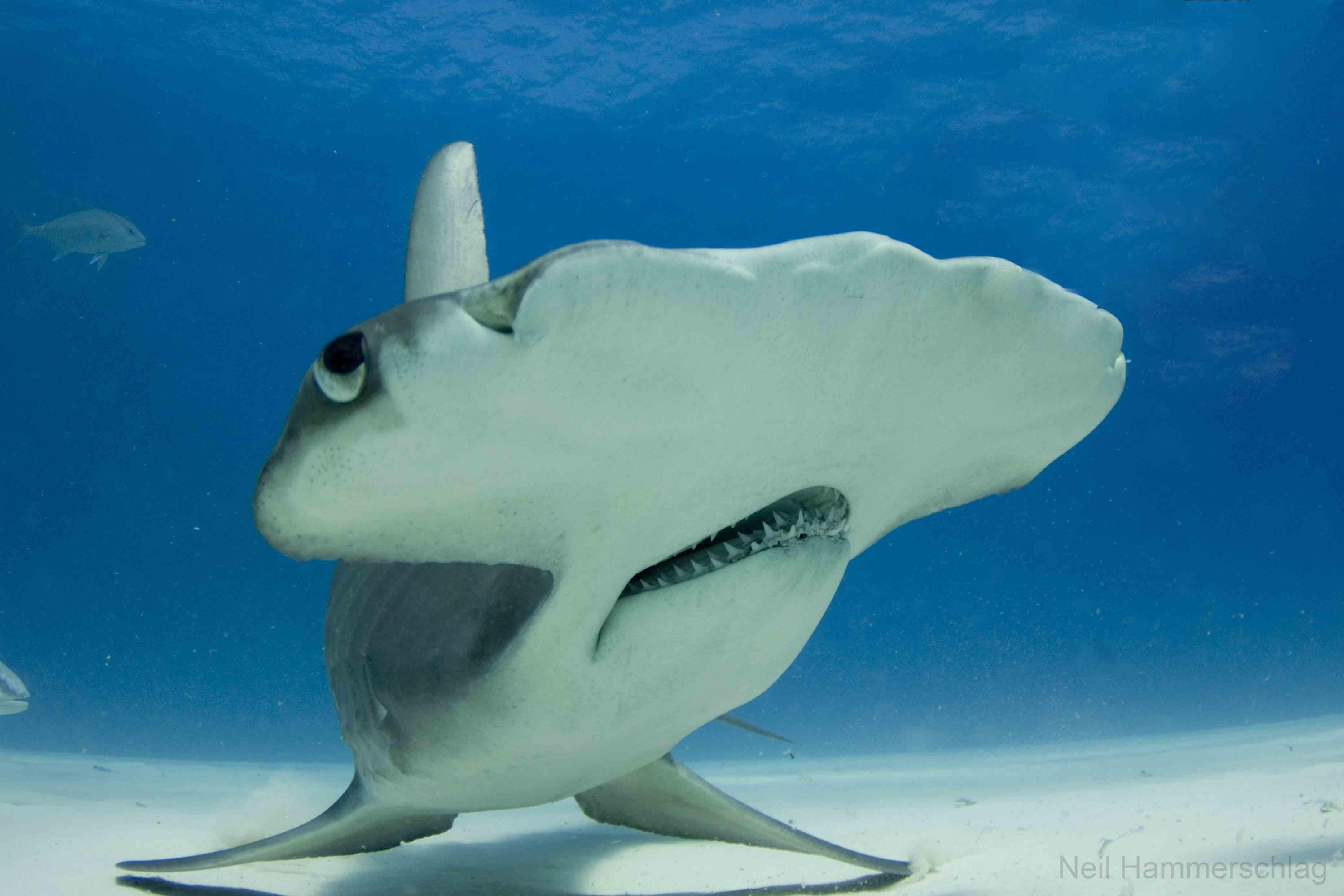 4338x2892 > Hammerhead Shark Wallpapers