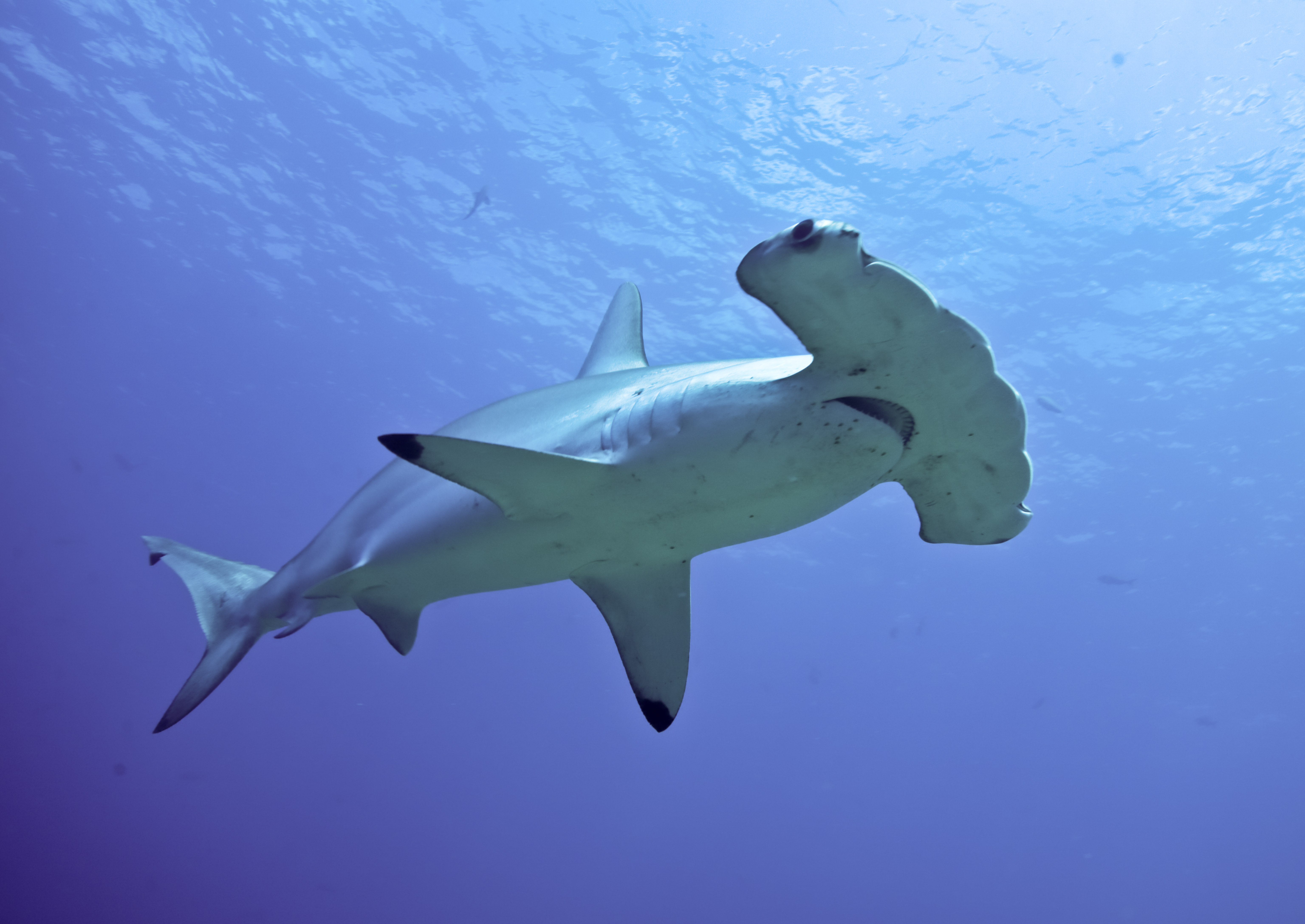 Hammerhead Shark Pics, Animal Collection