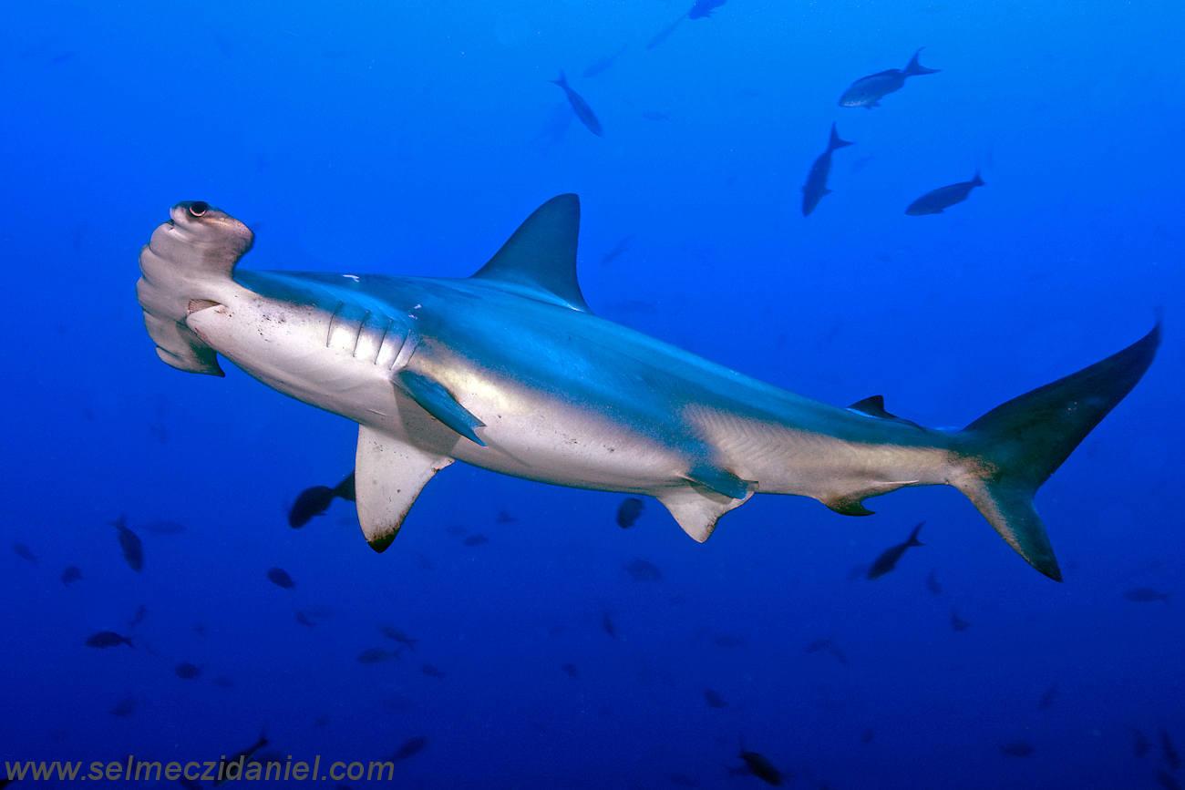 High Resolution Wallpaper | Hammerhead Shark 1300x867 px