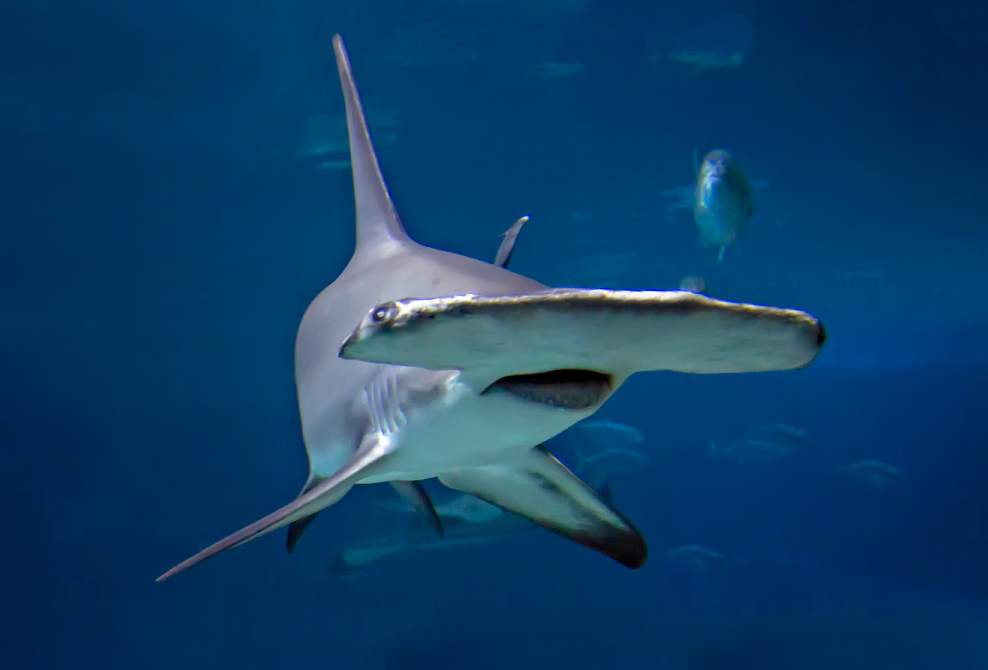 HQ Hammerhead Shark Wallpapers | File 415.9Kb
