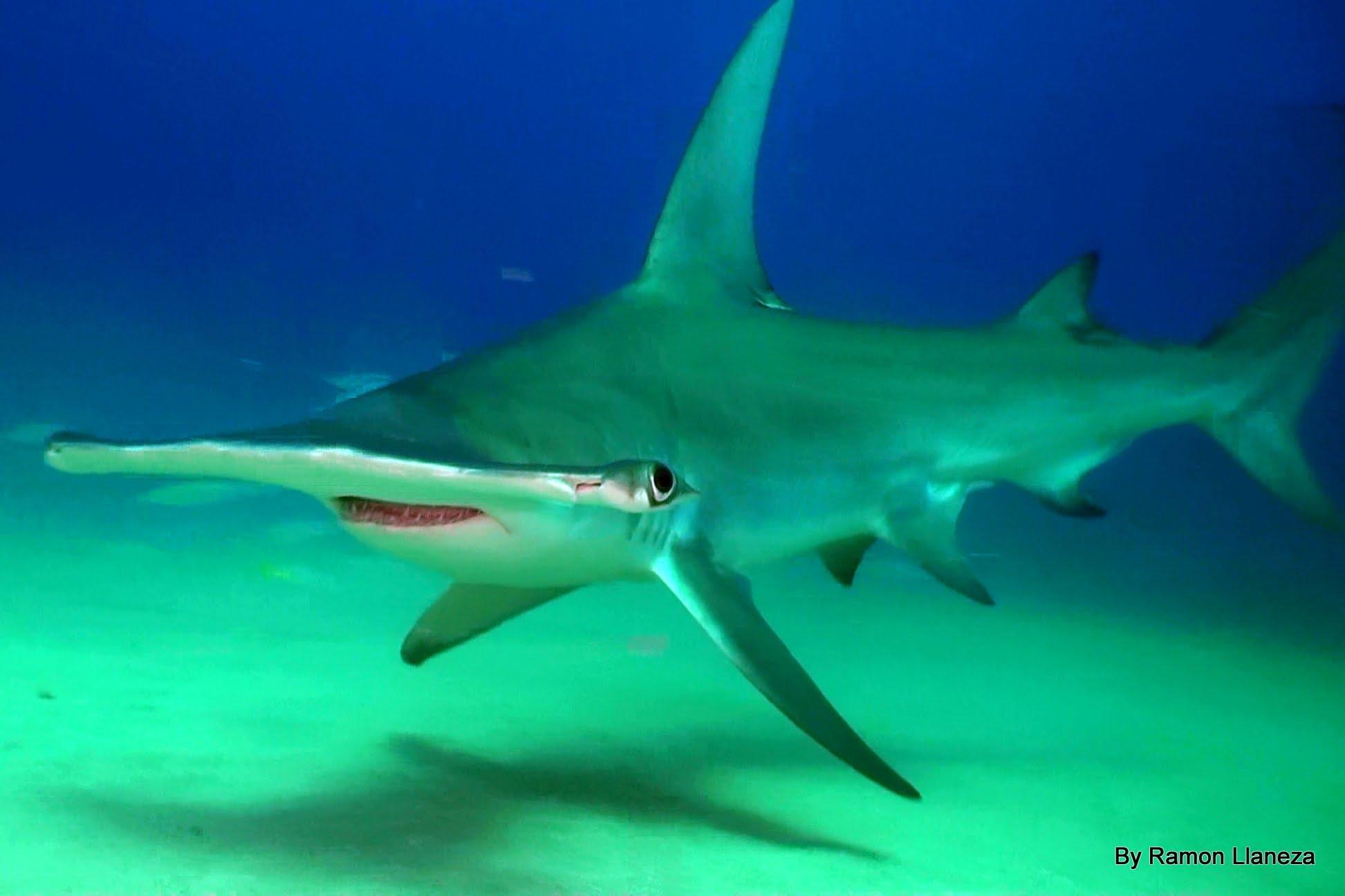 Hammerhead Shark Backgrounds on Wallpapers Vista