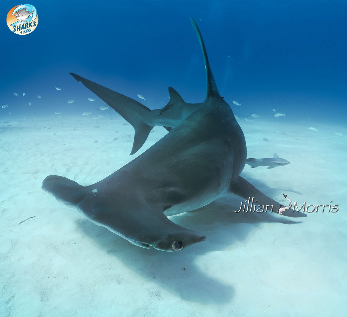 Amazing Hammerhead Shark Pictures & Backgrounds