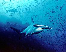 Hammerhead Shark High Quality Background on Wallpapers Vista
