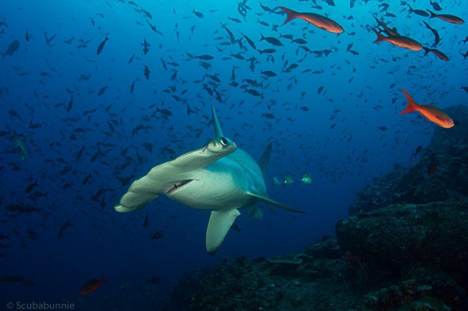 HQ Hammerhead Shark Wallpapers | File 63.56Kb