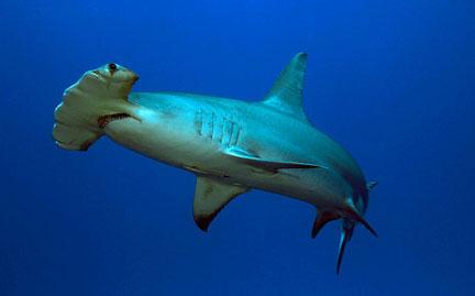 HD Quality Wallpaper | Collection: Animal, 432x269 Hammerhead Shark