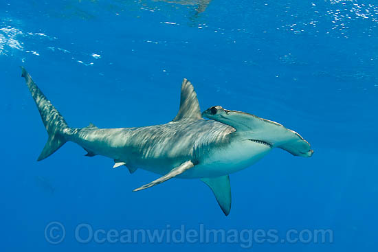 Nice Images Collection: Hammerhead Shark Desktop Wallpapers