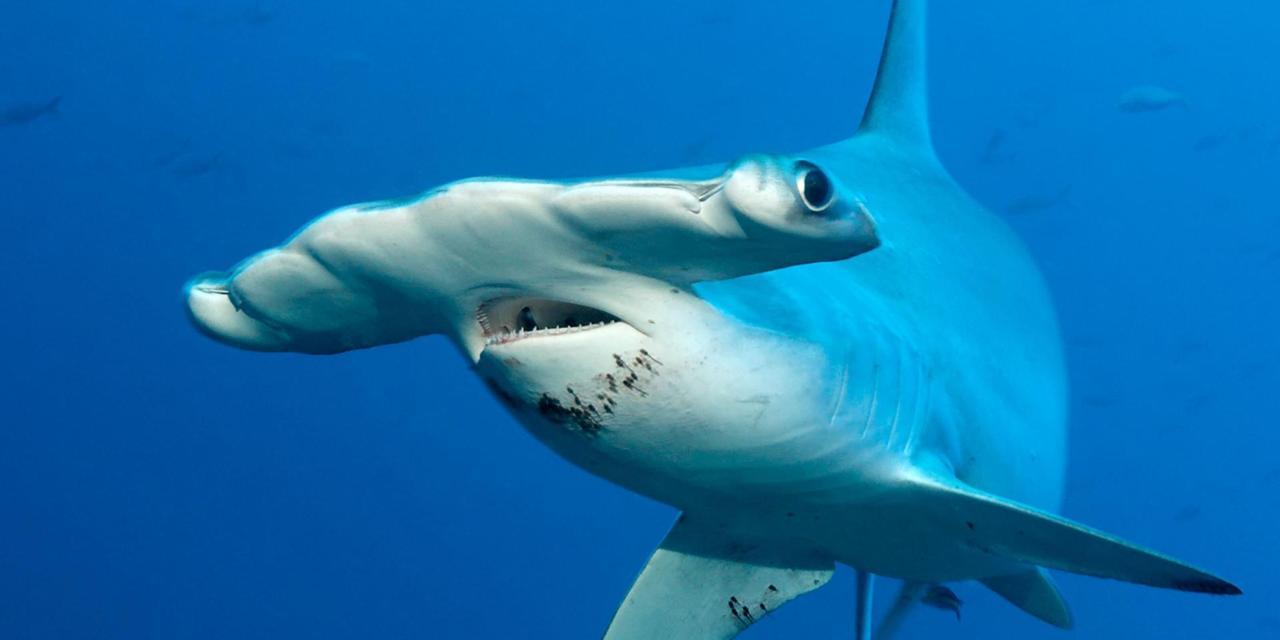 Images of Hammerhead Shark | 1280x640
