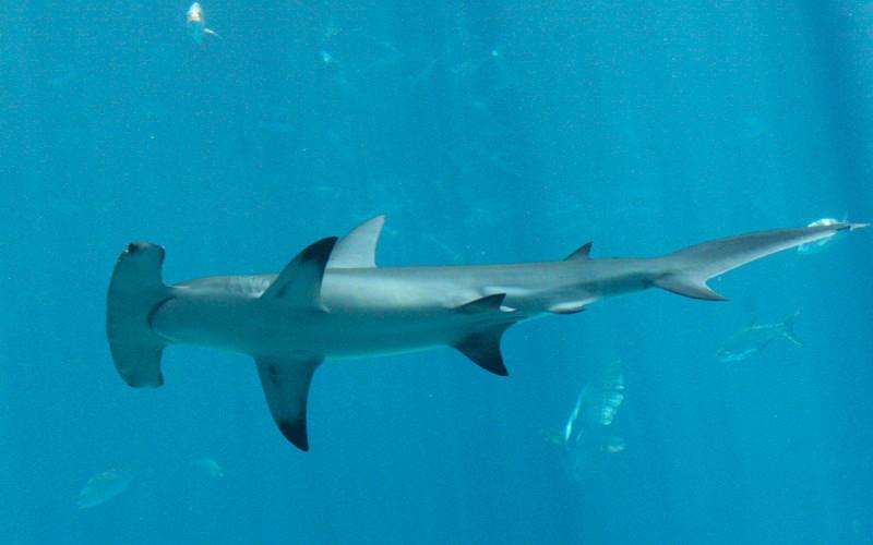 Images of Hammerhead Shark | 800x500