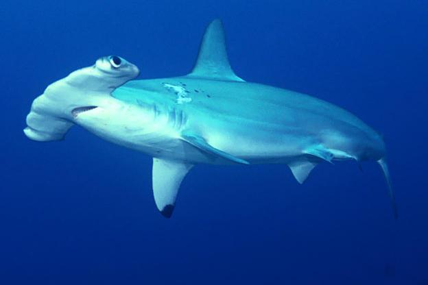 624x416 > Hammerhead Shark Wallpapers