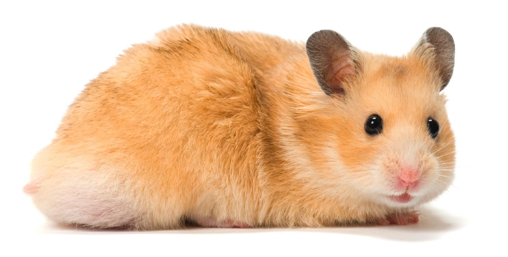 Hamster Pics, Animal Collection