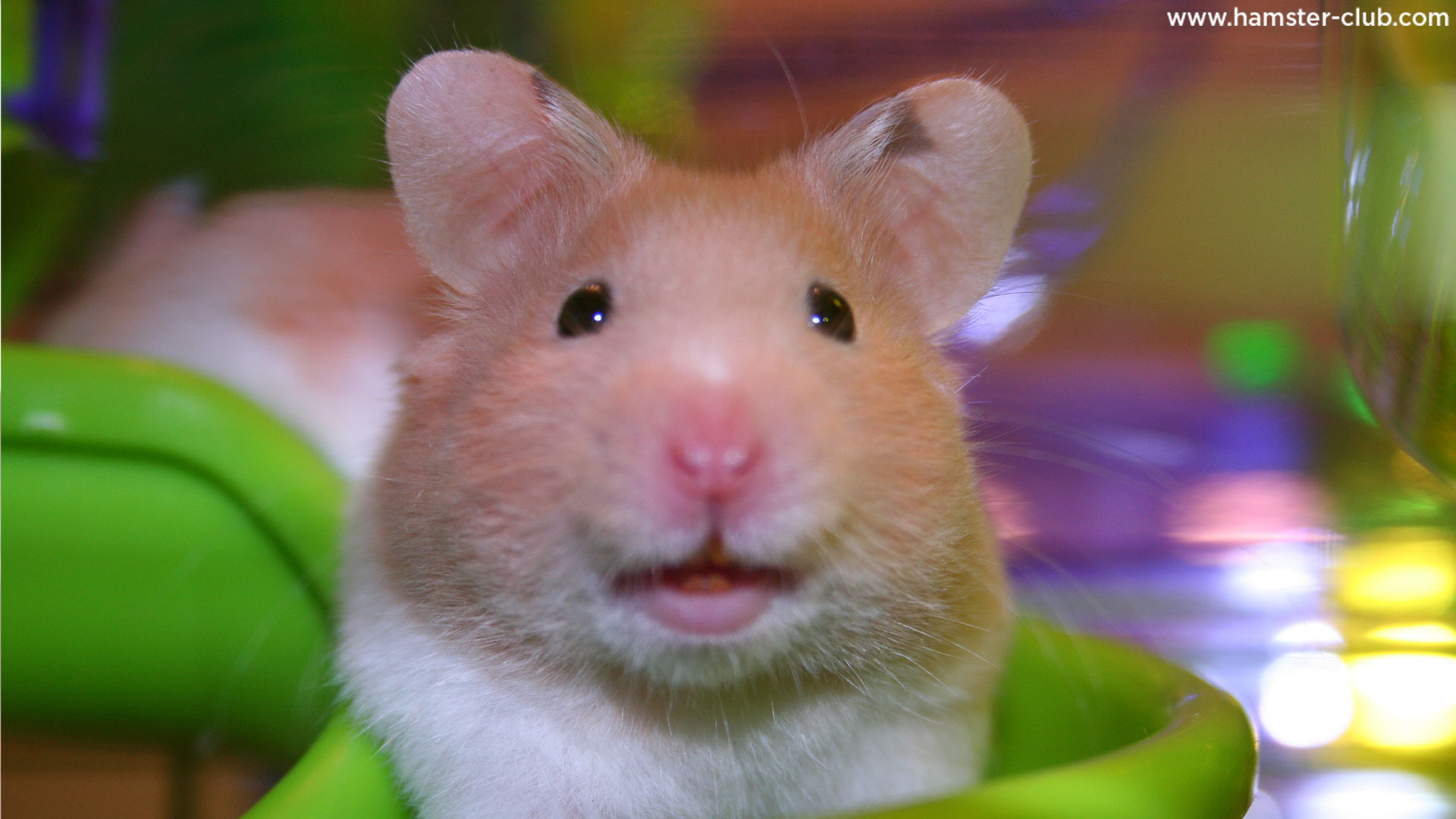 Images of Hamster   1920x1080