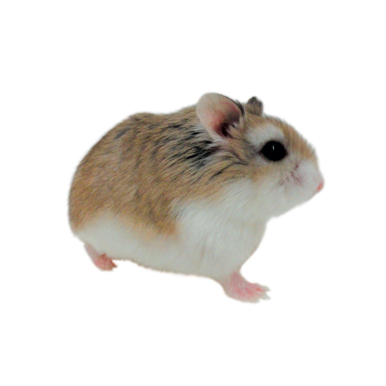 HQ Hamster Wallpapers   File 105.76Kb