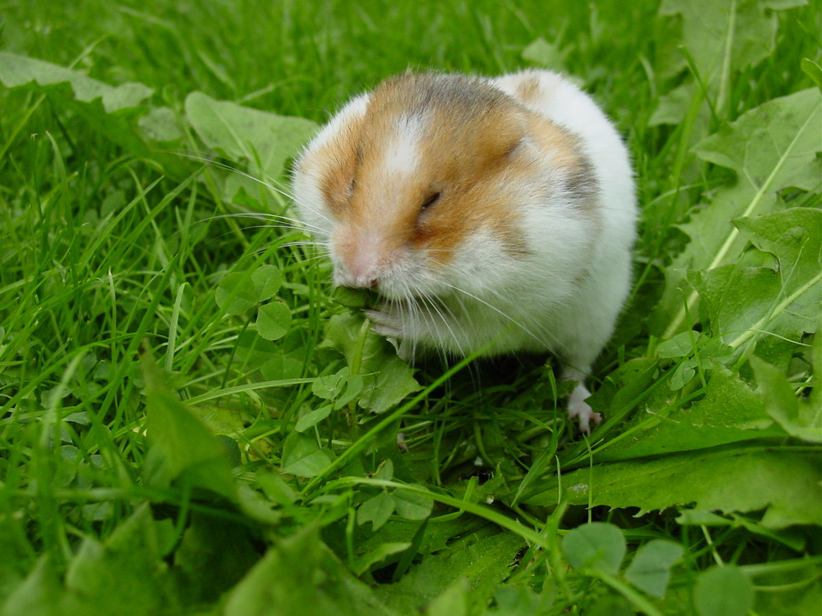 Amazing Hamster Pictures & Backgrounds