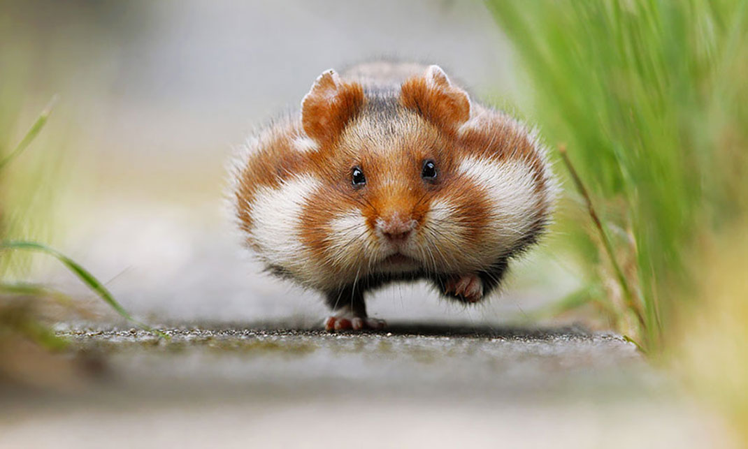 Hamster Backgrounds, Compatible - PC, Mobile, Gadgets  1070x643 px