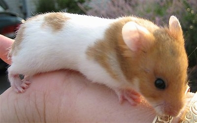 HD Quality Wallpaper   Collection: Animal, 400x249 Hamster