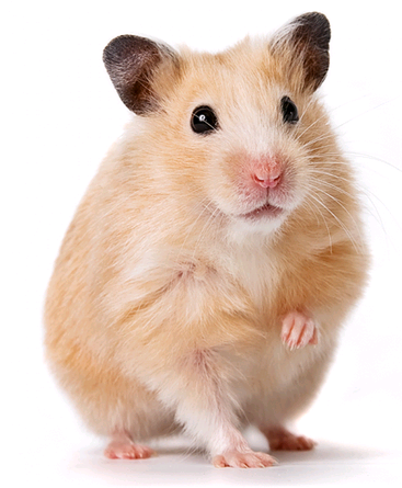 Hamster High Quality Background on Wallpapers Vista