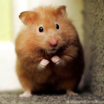 HD Quality Wallpaper   Collection: Animal, 400x402 Hamster