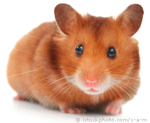 Nice Images Collection: Hamster Desktop Wallpapers
