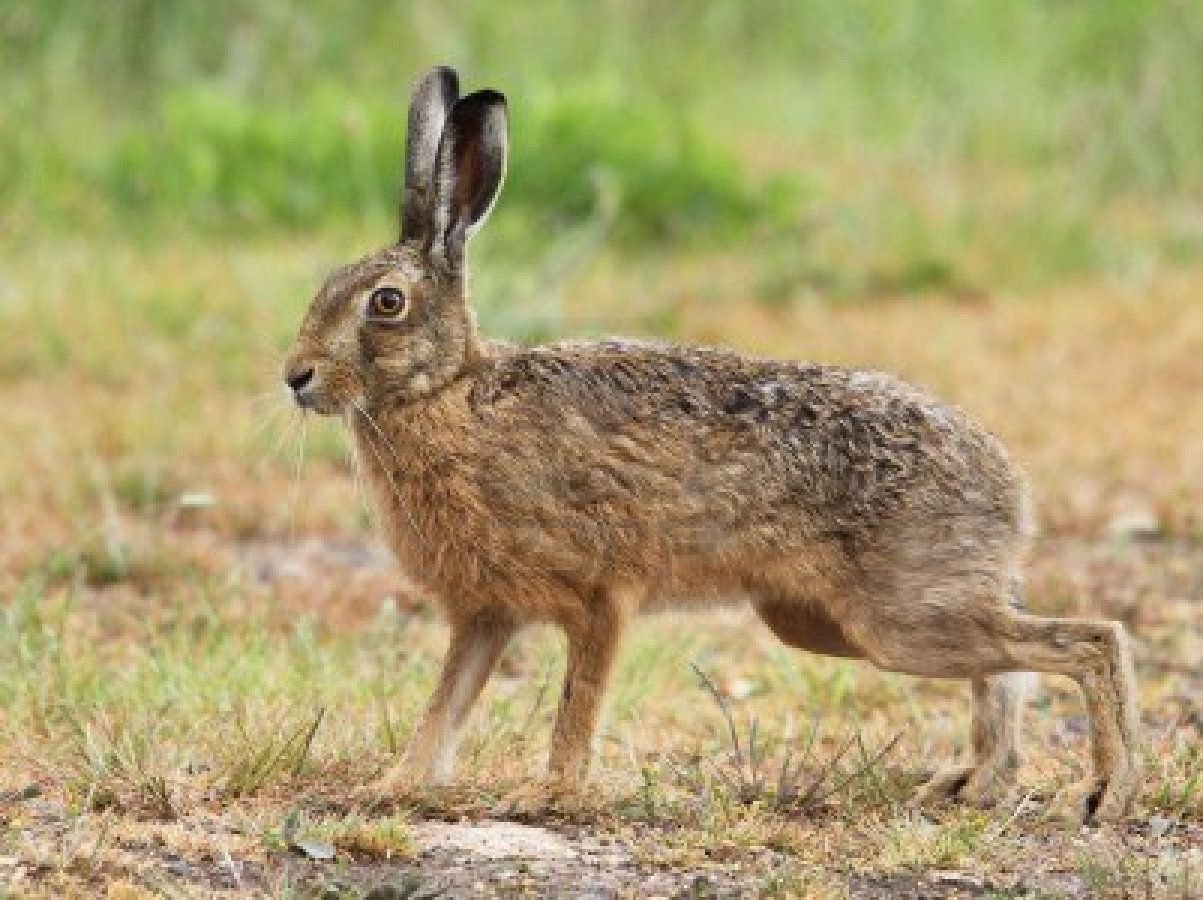 Hare High Quality Background on Wallpapers Vista