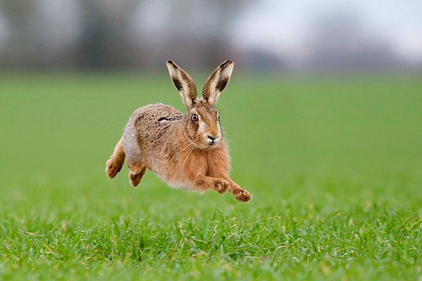Amazing Hare Pictures & Backgrounds