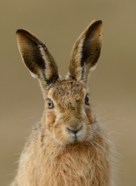 471x640 > Hare Wallpapers