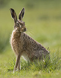 Hare Backgrounds, Compatible - PC, Mobile, Gadgets| 200x254 px