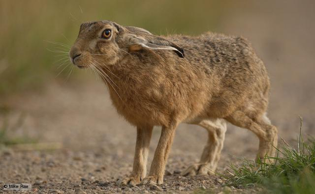 Nice wallpapers Hare 640x395px