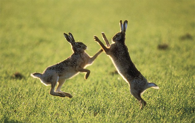 Hare Backgrounds on Wallpapers Vista
