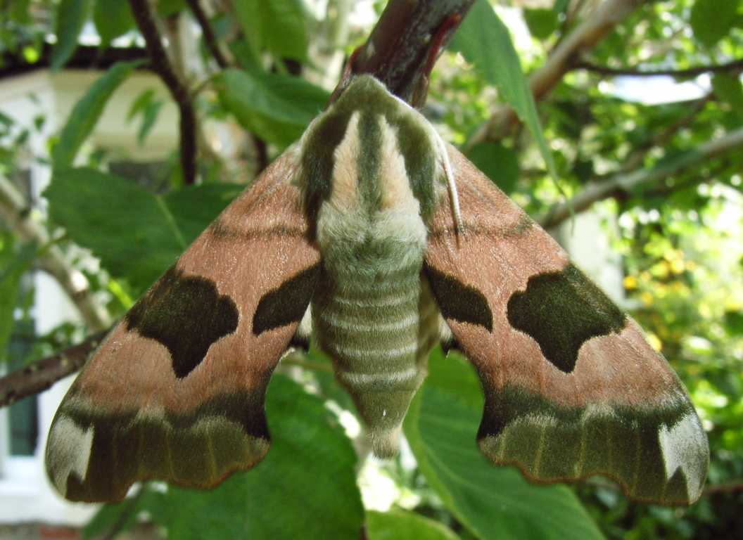 1056x768 > Hawk Moth Wallpapers