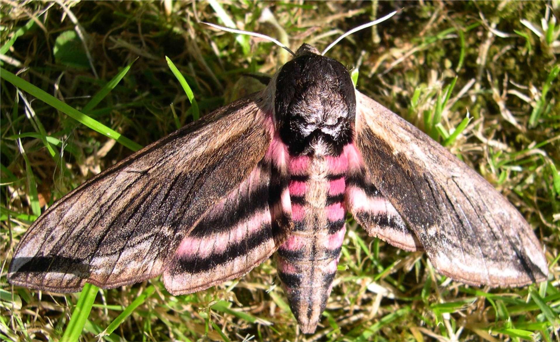 Nice wallpapers Hawk Moth 1916x1172px