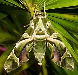 Hawk Moth Pics, Animal Collection