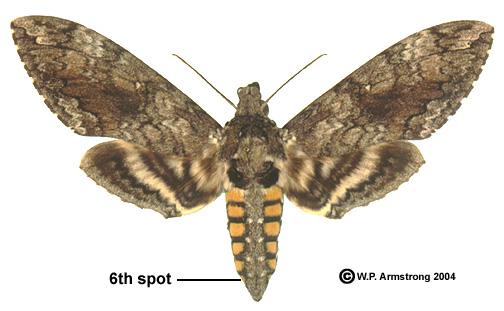 Hawk Moth Backgrounds on Wallpapers Vista