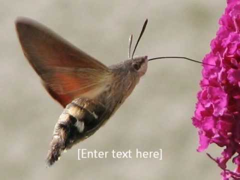 Hawk Moth High Quality Background on Wallpapers Vista