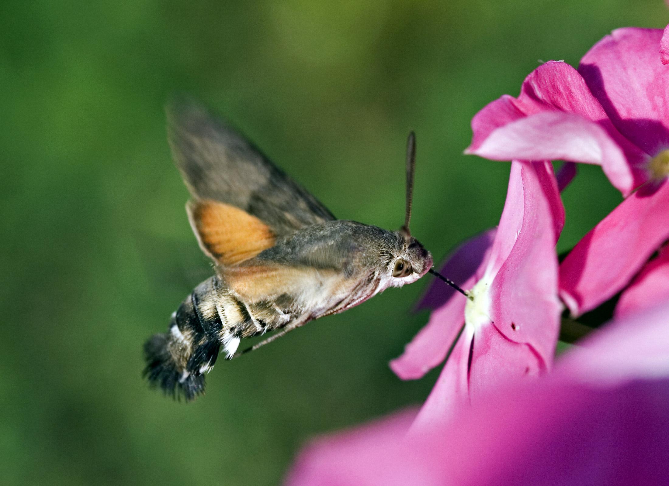 HQ Hawk Moth Wallpapers | File 735.44Kb