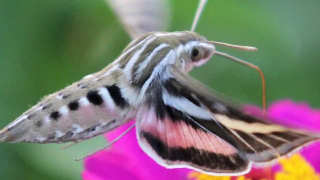 High Resolution Wallpaper | Hawk Moth 1280x720 px