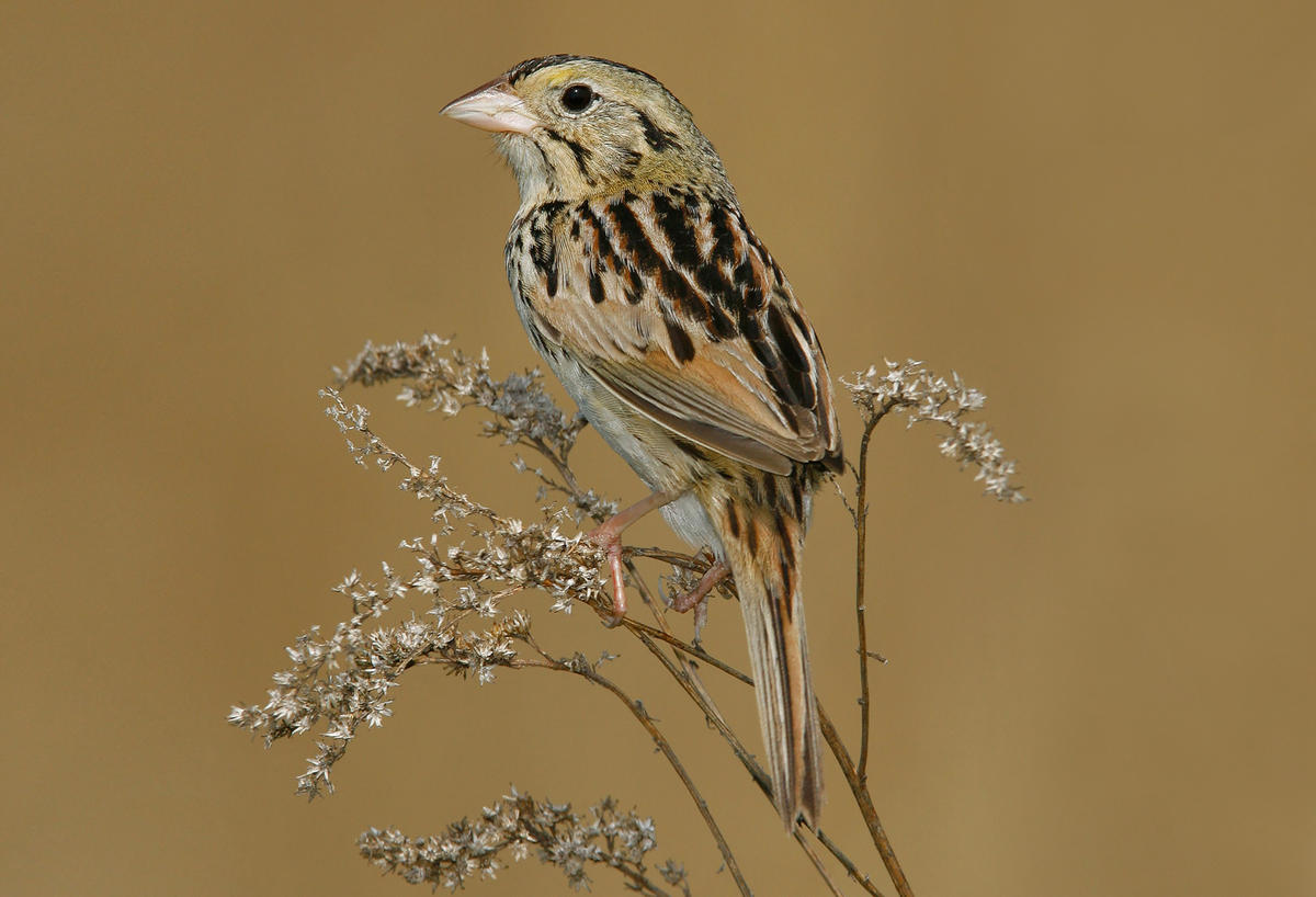 Nice wallpapers Henslow's Sparrow 1200x818px