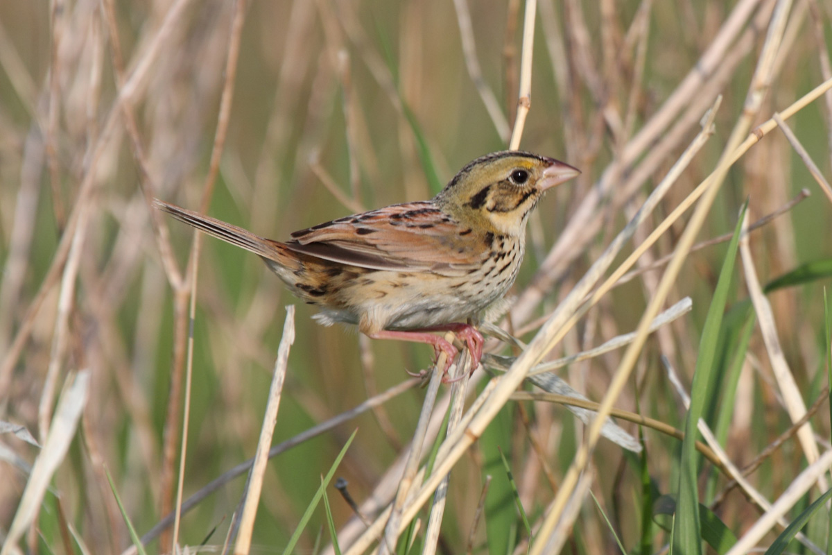 1200x800 > Henslow's Sparrow Wallpapers