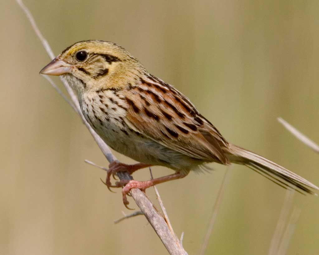 Images of Henslow's Sparrow | 1024x820