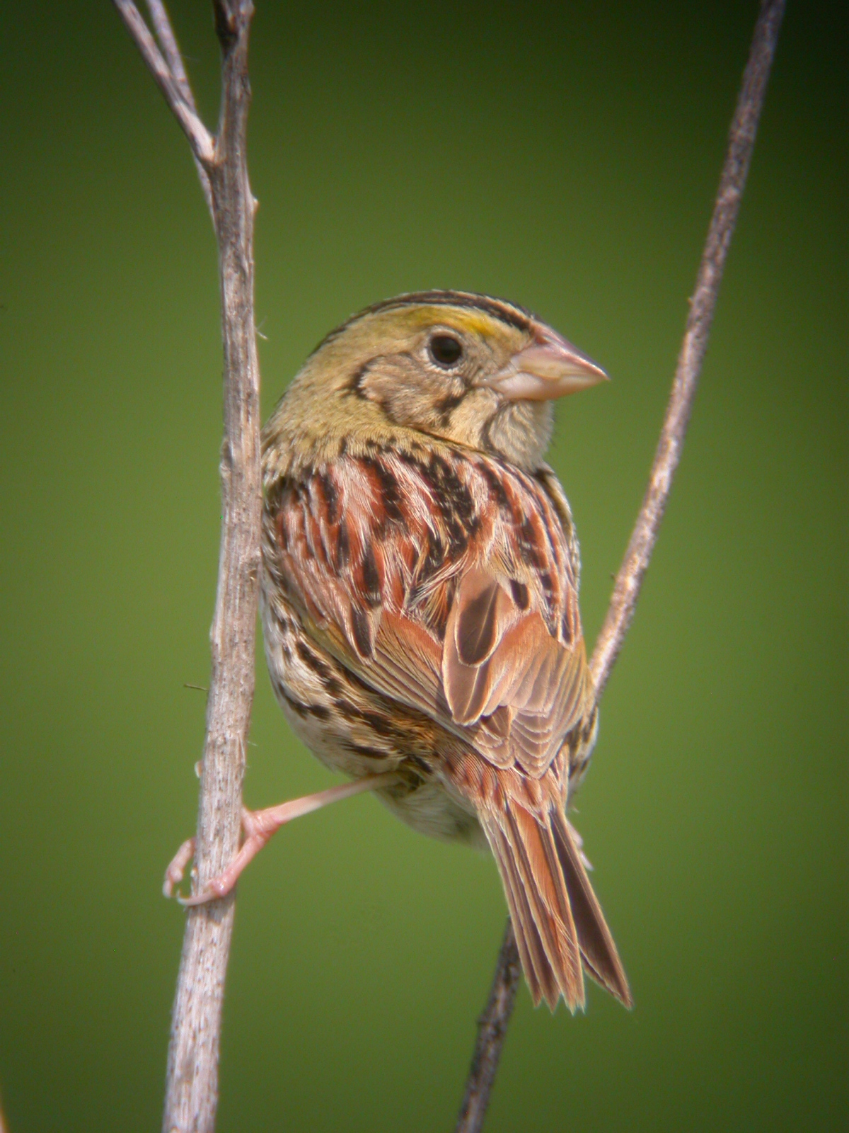 Nice wallpapers Henslow's Sparrow 1200x1600px
