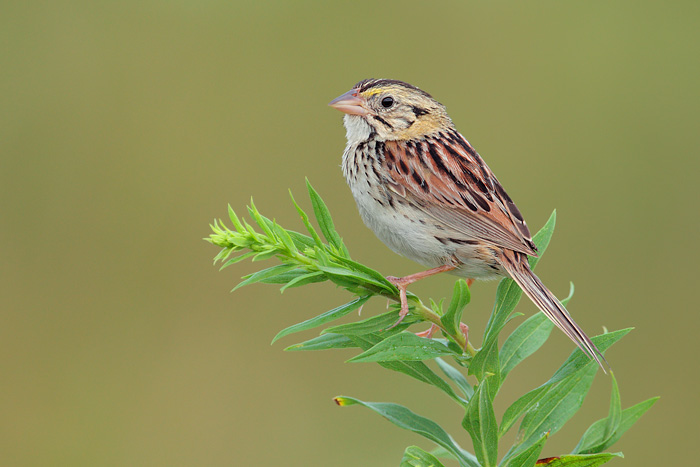 HD Quality Wallpaper | Collection: Animal, 700x467 Henslow's Sparrow